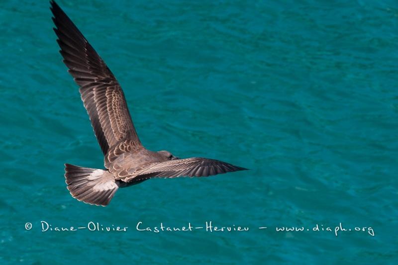 Mouette des laves (Larus fuliginosus) - îles Galapagos