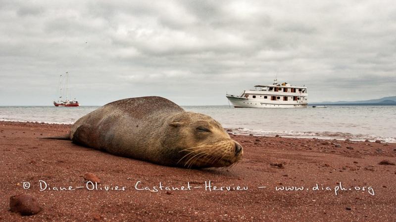 Otarie des Galapagos (Zalophus wollebaeki)