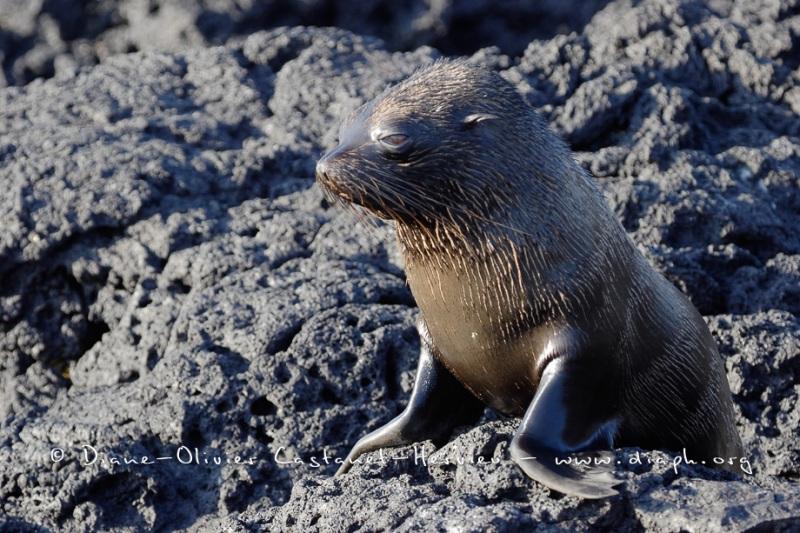 Otarie à  fourrure des Galapagos (Arctocephalus galapagoensis) - île de Santiago - Galapagos