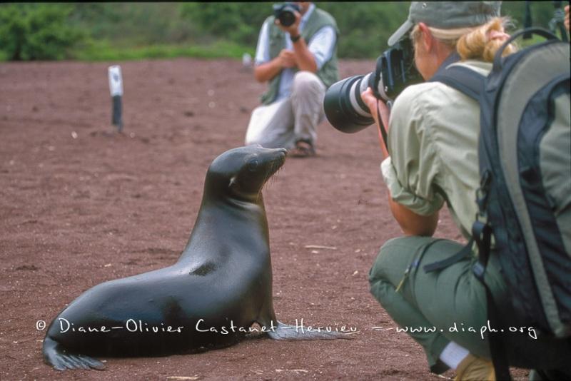 L'Otaries des galapagos (Zalophus californianus wollebaeki) et les photographes