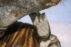 Otaries des galapagos (Zalophus californianus wollebaeki)