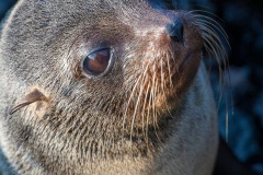 otarie à fourrure des Galapagos (Arctocephalus galapagoensis)