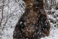 Ours brun d'Europe (Ursus arctos arctos)