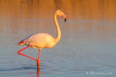 Pascale-Hervieu-2015-Flamants roses-6976