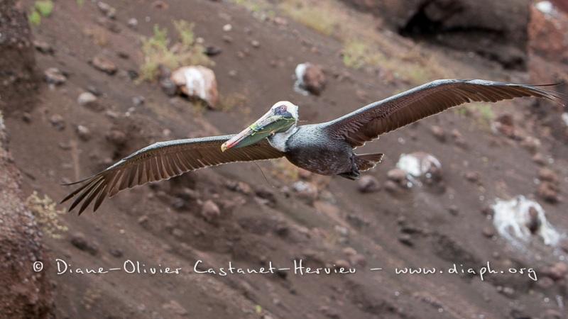 Pélican brun des Galapagos (Pelecanus occidentalis urinator)