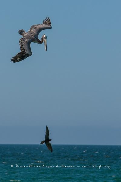 Pélican brun des Galapagos  (Pelecanus occidentalis urinator) at Noddy Brun