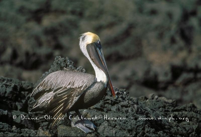 élican brun des Galapagos (Pelecanus occidentalis urinator)