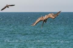 Pélican brun des Galapagos  (Pelecanus occidentalis urinator) et Noddy Brun