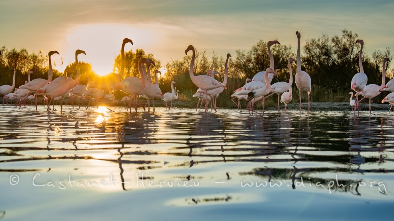 Flamants roses au soleil couchant