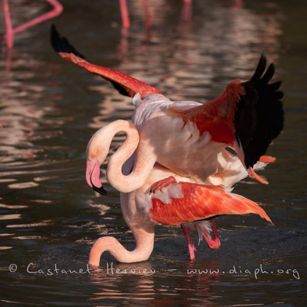 accouplement de flamant rose