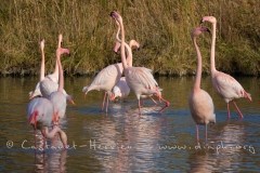 parade de Flamants Roses