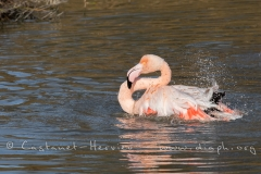 Toilette de flamant rose