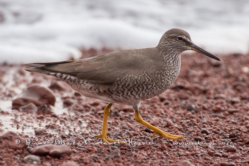 Chevalier de Baird (Calidris bairdii) - îles Galapago