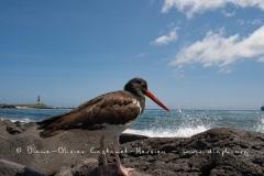 Huîtrier d'Amérique (Haematopus palliatus) - îles Galapagos