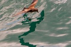 Petrel d'Elliot (Oceanites gracilis). Ile de Rabida. Galapagos