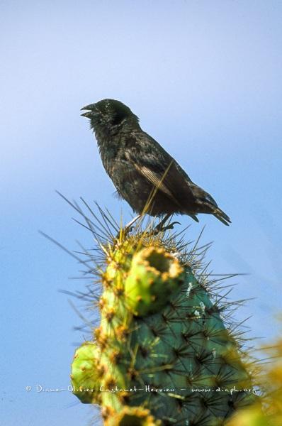 pinson des cactus