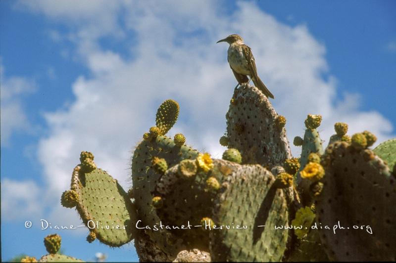 Moqueur des galapagos sur cactus géant