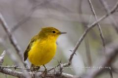 Paruline jaune dans les îles Galapagos