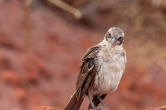 Moqueur des Galápagos (Mimus parvulus)