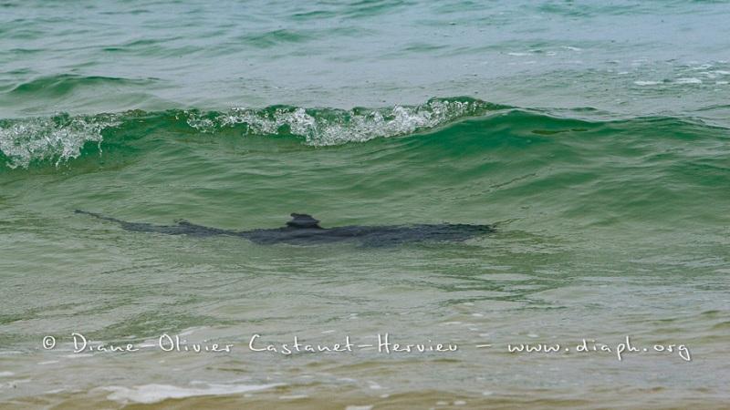 Requin pointe blanche dans une vague