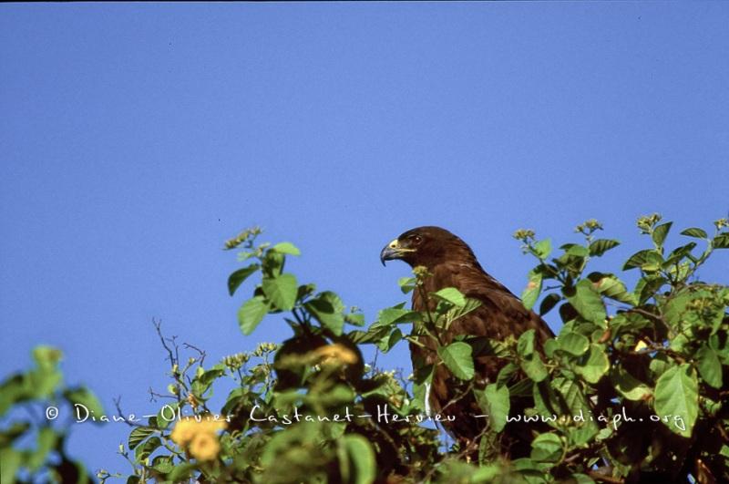 Buse des Galapagos (Buteo galapagoensis) - île de Santiago