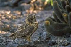Hibou des marais des Galapagos (Asio flammeus galapagoensis) - île de Genovesa