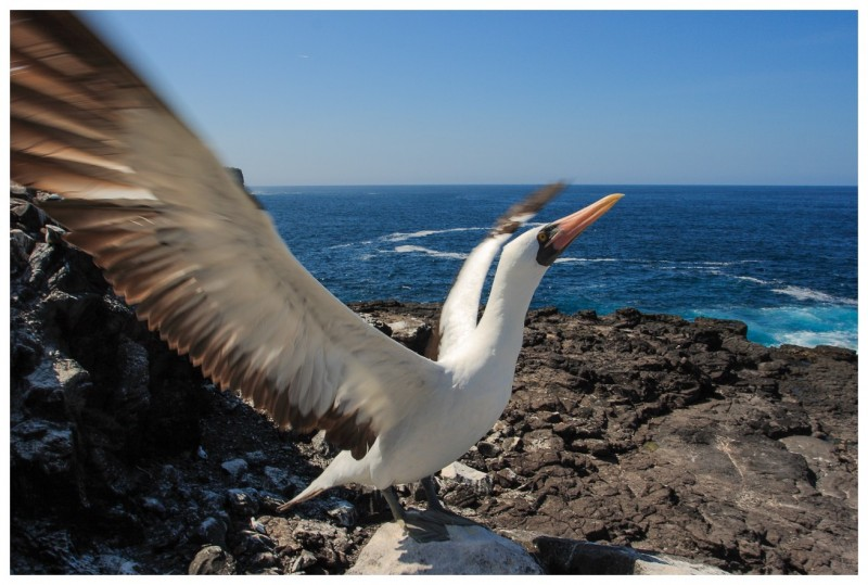 Fou masqué (Sula dactylatra) - île de Espanola