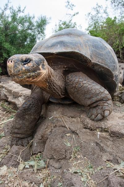 Tortue géante des Galapagos (Geochelone nigra) - Ile Santa Cruz (Geochelone nigra porteri)