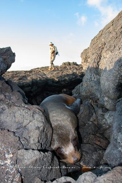 otarie à fourrure des Galapagos (Arctocephalus galapagoensis) et Photographe