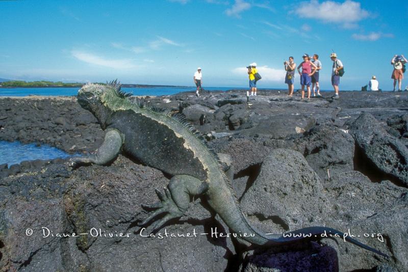 Iguanes marins (Amblyrhynchus cristatus)  et touristes (homo sapiens sapiens...pas trop)
